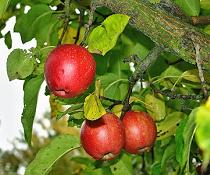 Jablka a recepty z jablek: jablečné palačinky, jablečná bábovka, Waldorfský salát