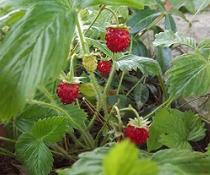 Jahody: Na jahody ke dvanácti měsíčkům