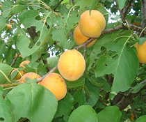 Meruňky: Meruňkové opojení – báječný požitek